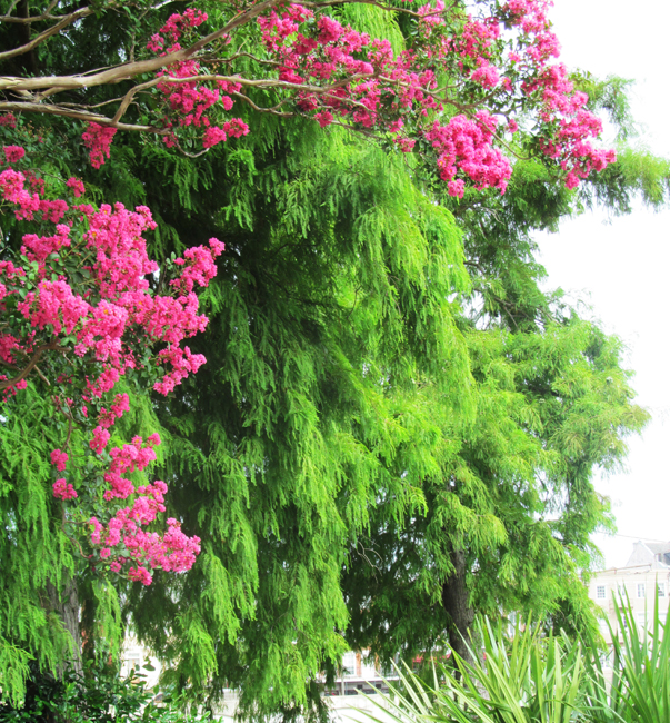 Crape Myrtle And Cypress