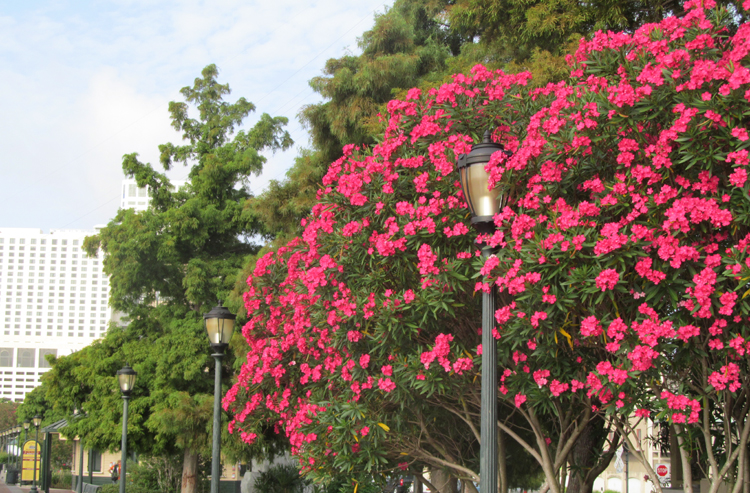 Oleander And Cypress