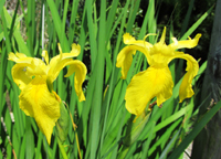 Yellow Iris Flowers