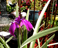 Purple Iris By Fountain