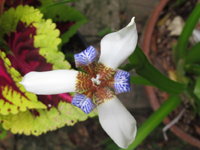 White Blue And Brown Iris Flower