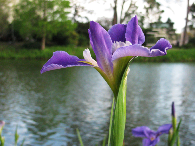 Purple Iris By A Pond