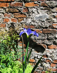 Blue Iris Brick Wall